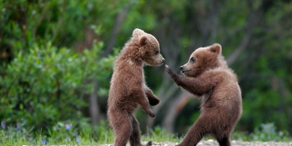 Bears playing tag